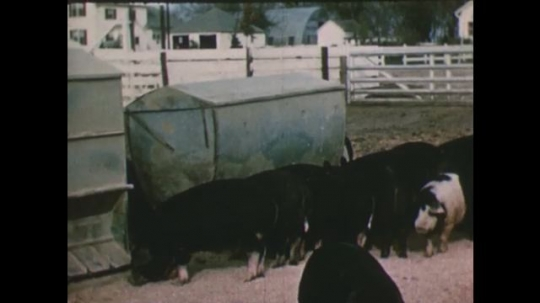 United States: 1950s: pigs eat from metal trough. Man builds pig sty. Man feeds pigs in yard. Pigs in field.