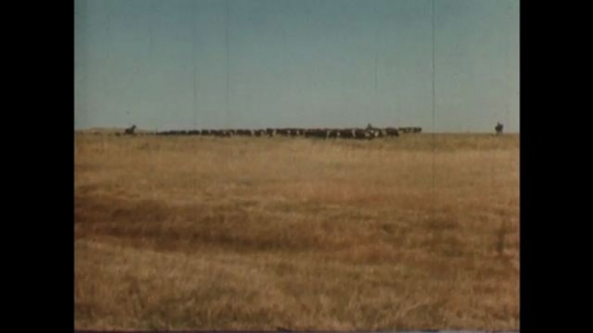 United States: 1950s: Cattle walk across field. Cows in field. Ground and rocks in valley.