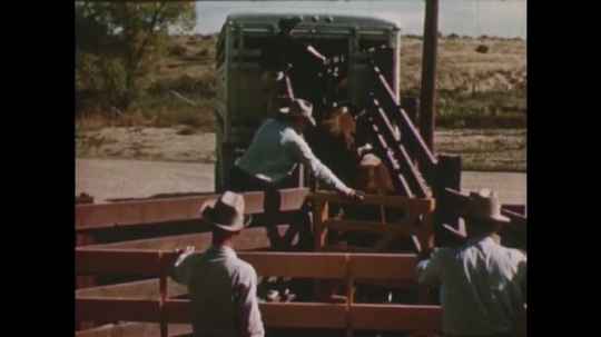 United States: 1950s: Man closes truck gate behind cows. Cattle truck drives along road. Man at back of train.