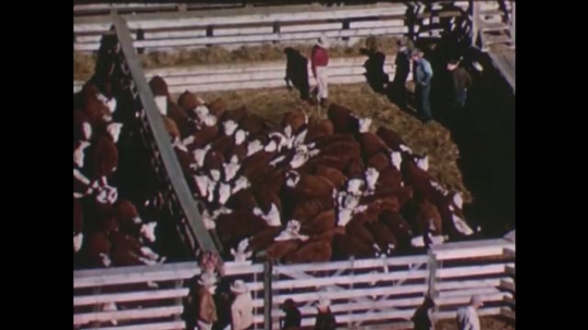 United States: 1950s: men inspect cows in pen. Man on horse at cattle market.