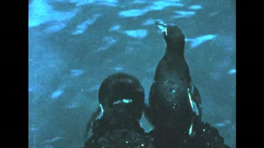 GALAPAGOS: 1950s: penguins jump from rock into sea. Galapagos red crabs. Iguana walks across ground