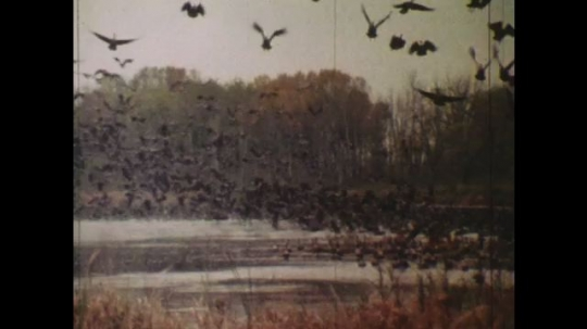 UNITED STATES: 1980s: map shows migration of ducks. Birds in sky. Animated map of flyway. Wildlife refuges.
