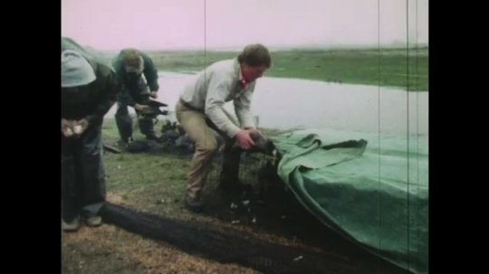 UNITED STATES: 1980s: men catch and ring wetland birds. Tag attached to bird leg. Birds fly away