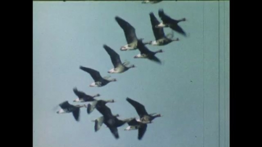 UNITED STATES: 1980s: geese fly across sky
