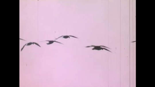 UNITED STATES: 1980s: geese fly across sky. Birds in sky. Sun sets over wetland