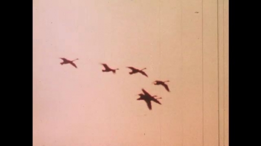 UNITED STATES: 1980s: Birds fly in sky at sunset. Birds land on water. Migrating birds. Snow geese on marsh