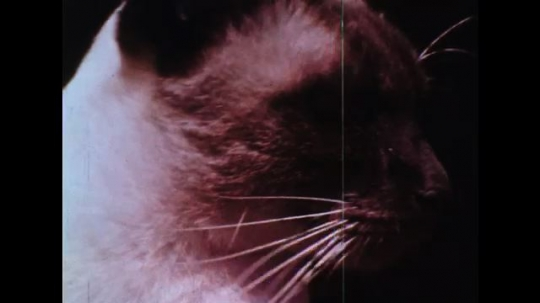 UNITED STATES: 1960s: Siamese cat. Brown, yellow, and purple stripes.