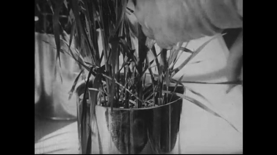 UNITED STATES 1940s-1950s : A scientist in a greenhouse plants radioactive seeds in buckets, then trims a plant and places the contents in beakers.