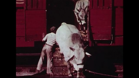 UNITED STATES 1950s : Animals from all over the world are unloaded from a red circus train car.