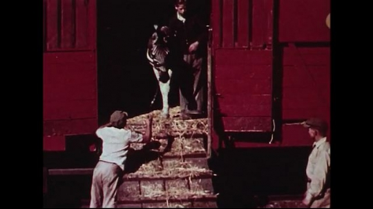 UNITED STATES 1950s : A zebra is guided by a trainer as it walks down a ramp from a red circus train.