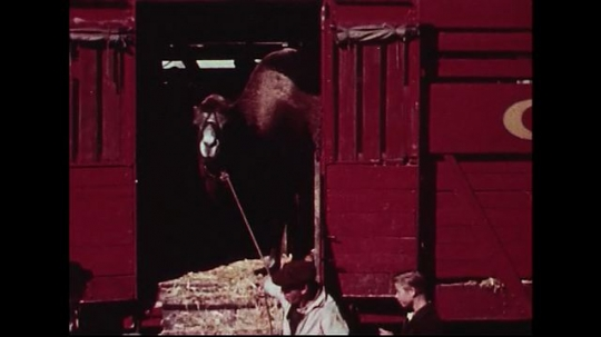 UNITED STATES 1950s : A camel descends from a red Cole Brothers Circus train car.