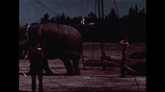 UNITED STATES 1950s : Elephants pull rolls of tent canvas from circus wagons.