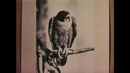 UNITED STATES: 1950s: picture of a bird of prey.