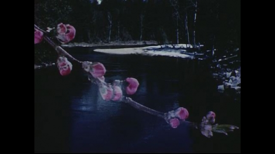 UNITED STATES 1950s: Time lapse of flowers blooming over river scene.