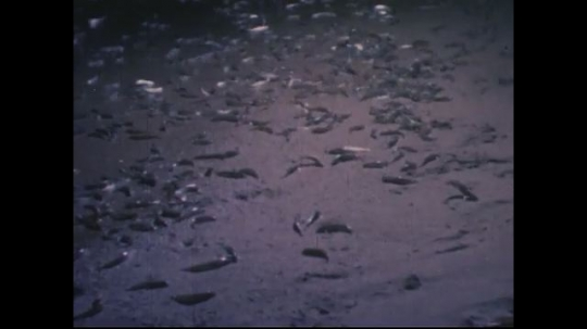 UNITED STATES 1950s: Grunion fish lay eggs on beach.