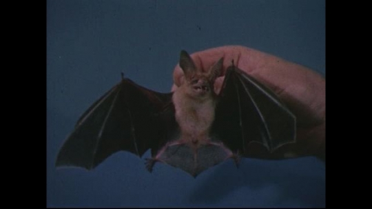UNITED STATES 1950s: Bat held in hand / Close up of bat in hands / Close up of bat nursing / Hands hold nursing baby bat.