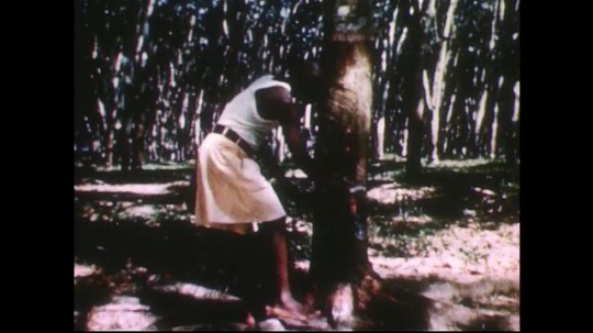 UNITED STATES 1950s: Man cuts into rubber tree / Close up of hands removing rubber / Man cuts tree.
