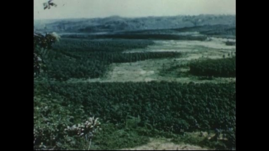 UNITED STATES 1950s: Long shot of rubber plantation / Workers walking through plantation.