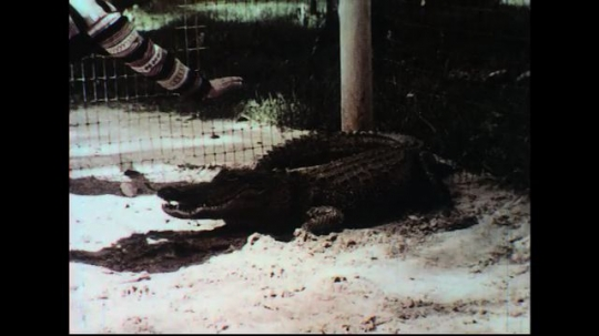 UNITED STATES 1960s: Man hits alligator on nose, throws food in its mouth / Man rolls alligator on back / Man pokes alligator with stick, flips it over.