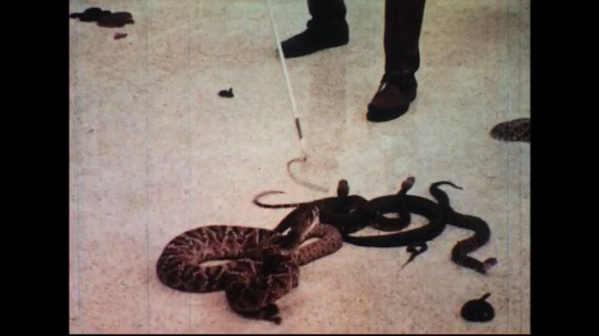 UNITED STATES 1960s: Man catches snake in pen / View of snake dangling in hand.