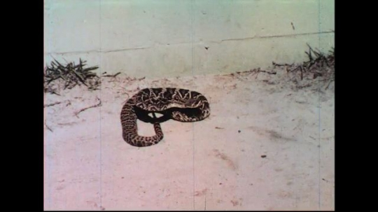 UNITED STATES 1960s: Coiled rattlesnake, feet walk up, snake strikes at feet.