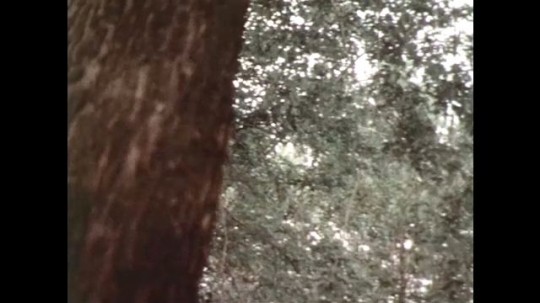 UNITED STATES 1970s: Pan down tree, high angle shot of boy in forest.