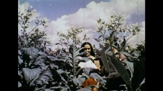 UNITED STATES 1600s: Colonial man and Native American woman in tobacco field.