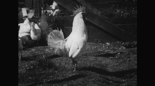 UNITED STATES 1950s: Adult hens and roosters wander around the coop as the farmer places eggs into a shelf of other eggs.