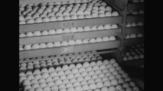 UNITED STATES 1950s: A tray of eggs is placed in a cabinet container by the farmer who securely locks it afterwards.