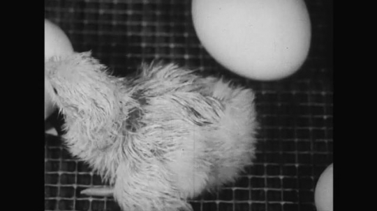 UNITED STATES 1950s: More eggs hatch until almost all chicks are inside the locked tray which is taken out by the farmer.