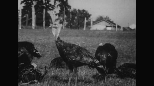 UNITED STATES 1950s: Turkeys walk gingerly on a field looking dumbfounded.