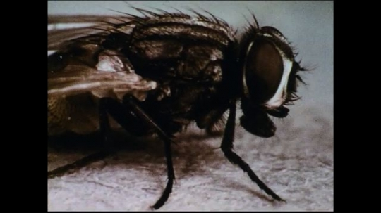 UNITED STATES 1950s: A closeup of a house fly as it licks its legs.