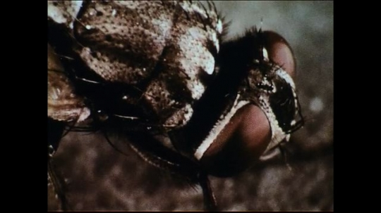 UNITED STATES 1950s: A closeup of the head of the house fly with commentary on its eyes.