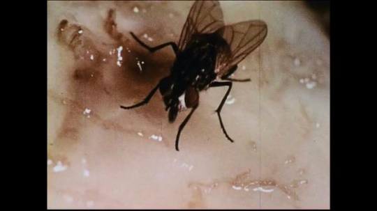 UNITED STATES 1950s: A house fly uses its lips to feed on a fleshy material.