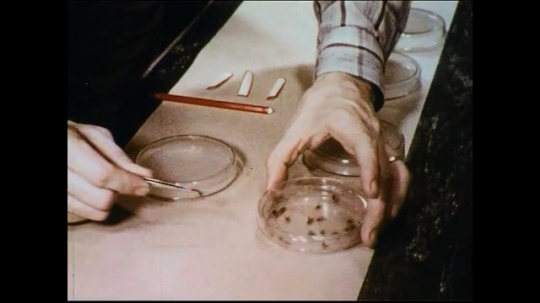 UNITED STATES 1950s: A scientist transfers a fly to a petri dish where it transfers a fungus that later grows into a colony.