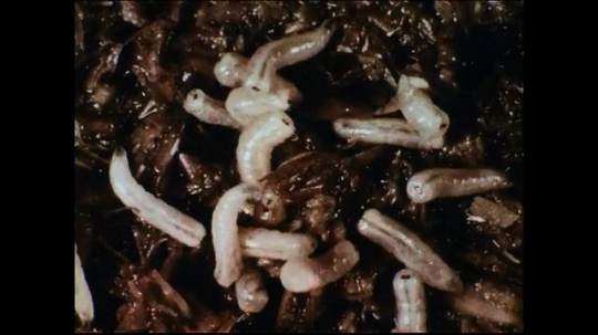 UNITED STATES 1950s: After exposure to sunlight, maggots hide themselves.