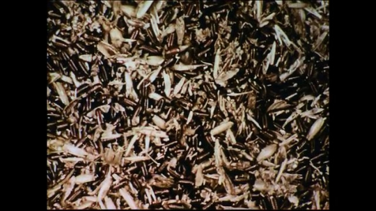 UNITED STATES 1950s: Flies breaking out of their pupal cases.