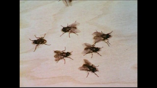 UNITED STATES 1950s: After freeing themselves from their pupal cases, flies develop characteristic color and stiffen wings.
