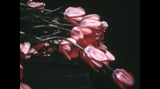 UNITED STATES: 1960s: pink tulips on table. Lady cuts stem on tulip.