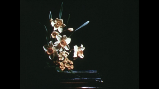 UNITED STATES: 1960s: lady shows oasis to camera. Lady picks up daffodil. Lady puts daffodils into arrangement. Lady cuts daffodil stem with secateurs.