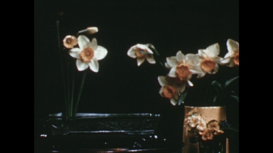 UNITED STATES: 1960s: lady inserts daffodils into arrangement.