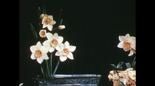 UNITED STATES: 1960s: lady adds small yellow flowers to arrangement.