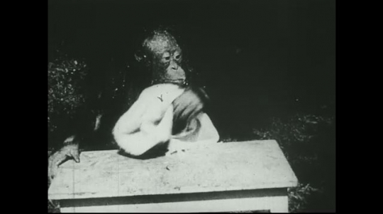 UNITED STATES 1940s: Young orangutan at table, wipes face with towel / Closer view of orangutan / Close up of gibbon.