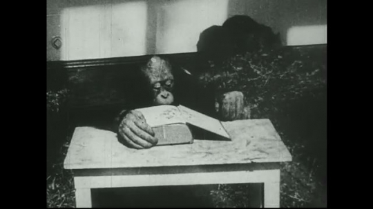 UNITED STATES 1940s: Young orangutan looks at book.