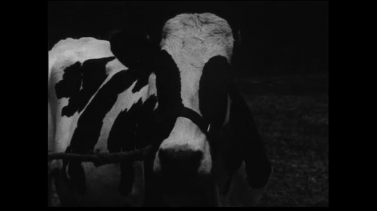 UNITED STATES 1930s: Fades between close up of polled cow and wide shot of polled herd. Medium shot of farmer with cow fades to close up of Cooperative Tuberculosis Eradication Certificate.