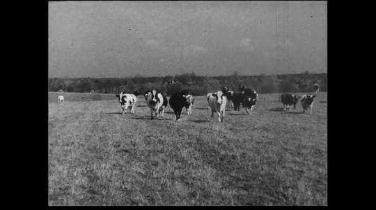 UNITED STATES 1930s: Crossfade between scenes of cows coming in from pasture to dairy barn.