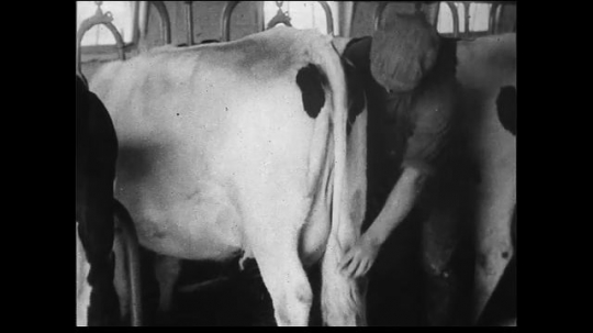 UNITED STATES 1930s: Crossfade between scenes of cows coming in from pasture to dairy barn. Wide and medium wide shots of farmworker cleaning rears of cows at feeding stations.