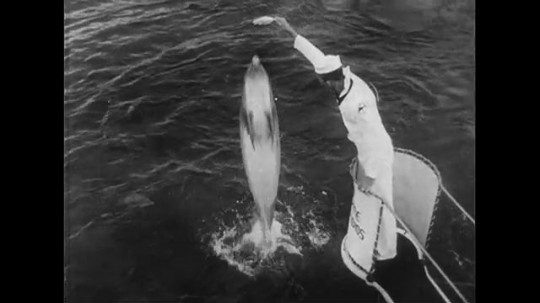 UNITED STATES CIRCA 1951 : A seaman holds a fish with the tips of his fingers as dolphins jump up and down trying to reach it.