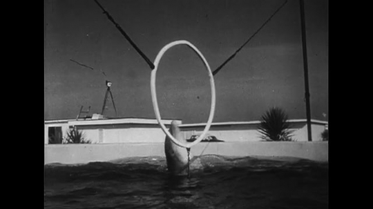 UNITED STATES CIRCA 1951 : A dolphin is trained to jumped through a hoop and fetch a stick.