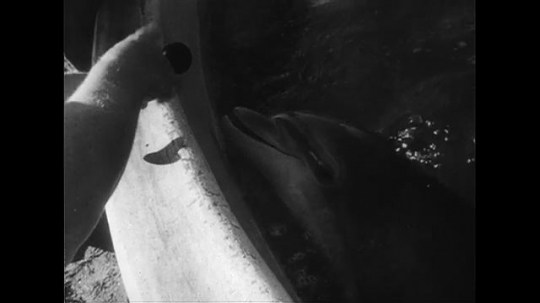 UNITED STATES CIRCA 1951 : A dolphin is taught to blow a horn and petted by a trainer.